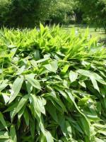 Sasa tsuboiana, Breitblatt-Bambus