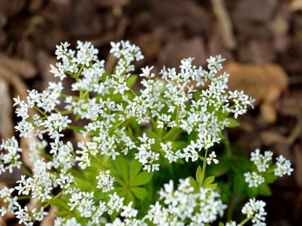 Leberkraut Blüte