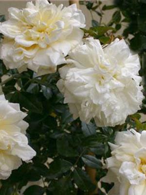 Blüte der Rose Alberic Barbier