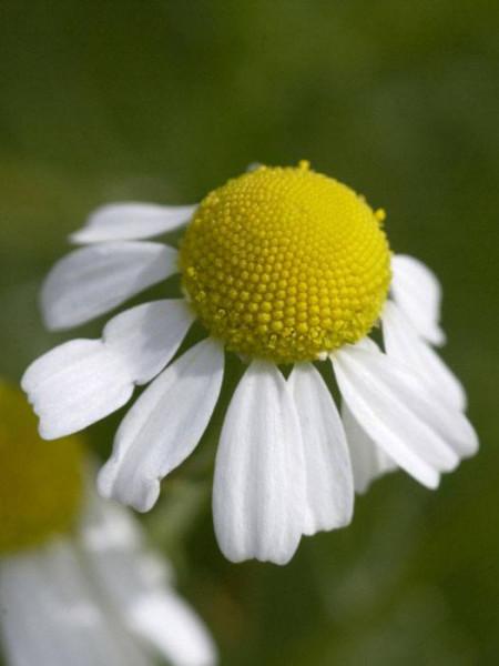 Echte Kamille, Matricaria recutita