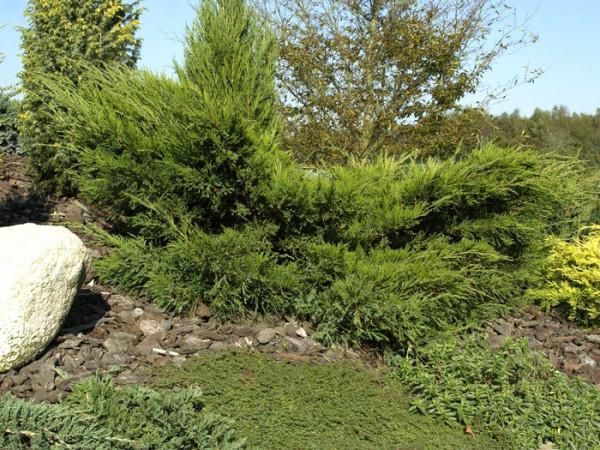 Strauchwacholder Mint Julep Solitärpflanze