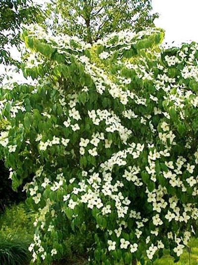 Strauch während der Blütezeit