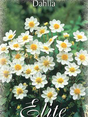 Topmix-Dahlie 'White', Dahlia (Art.Nr. 520616)