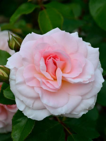 Blüte der Rose Bremer Stadtmusikanten