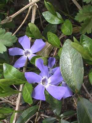 Immergrün Blüte