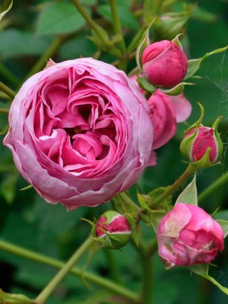 Blühende Rose Pomponella