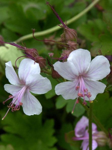 Blüte des Storchschnabels 'Biokovo'