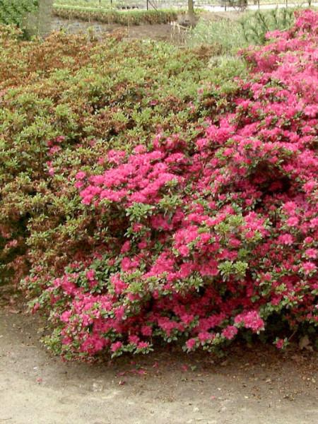 Rhododendron obtusum 'Rubinetta', wintergrüne japanische Gartenazalee