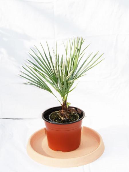 Trachycarpus fortunei, Fächerpalme, Hanfpalme**