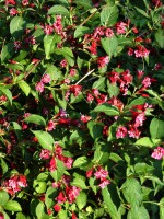 Weigela 'Bristol Ruby', Weigelie
