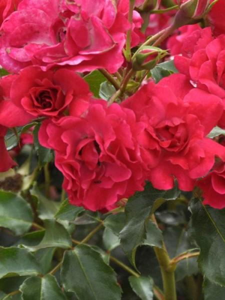 Blüte der Rose Rotilia