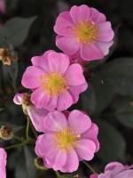 Rose Lavender Dream ® - Interplant