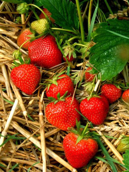 Erdbeere 'Elvira'