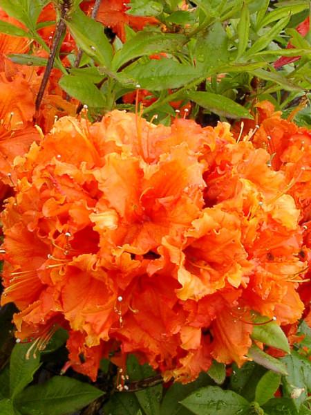 Rhododendron luteum 'Gibraltar', sommergrüne japanische Gartenazalee