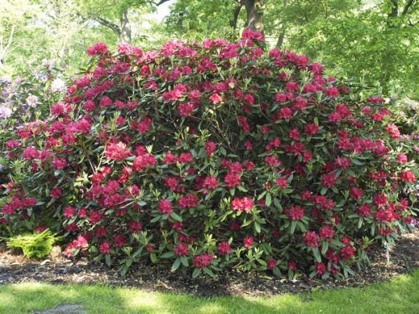 Rhododendron 'Hachmanns Feuerschein' INKARHO®,