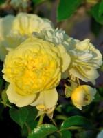 Rose Solero ® - Kordes