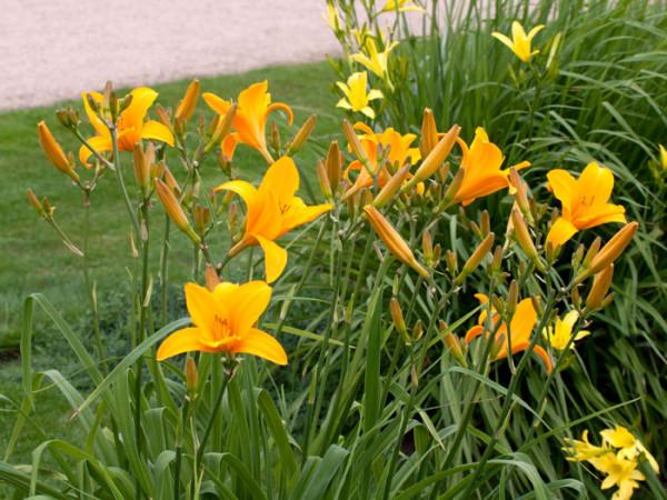 Hemerocallis x cultorum 'Apricot', Garten-Taglilie