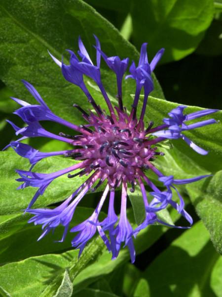 Blüte der Berg-Flockenblume