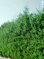 Picea omorika, Serbische Fichte