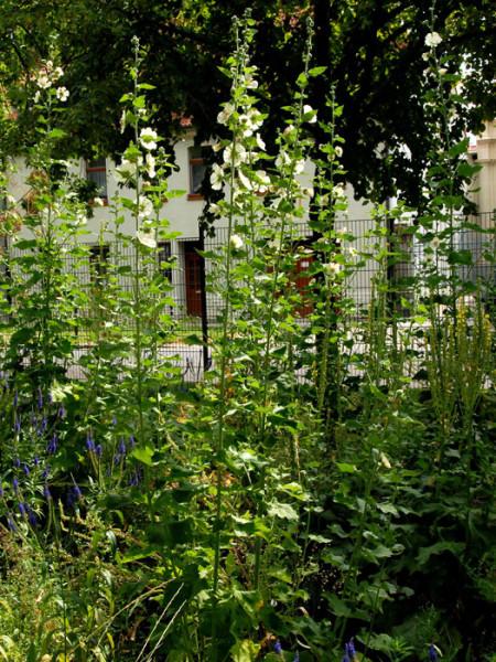Alcea hybrida 'Parkallee', Stockrose, ausdauernde Stockrose, Stockmalve