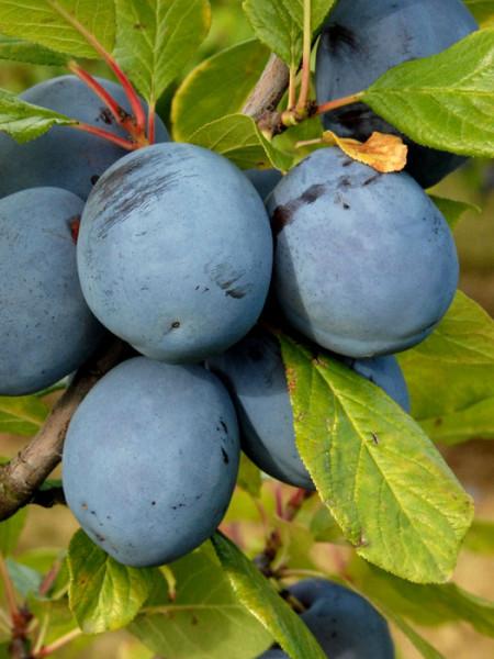 Blätter und Früchte der Hauszwetsche