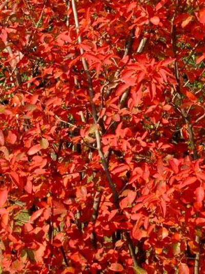 Feuerrote Herbstfärbung der Säulen-Felsenbirne