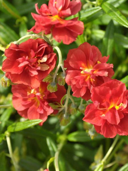Blüten des Garten-Sonnenröschens
