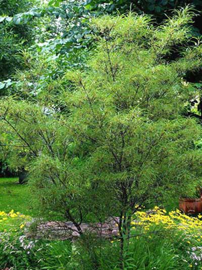 Faulbaum Asplenifiolia