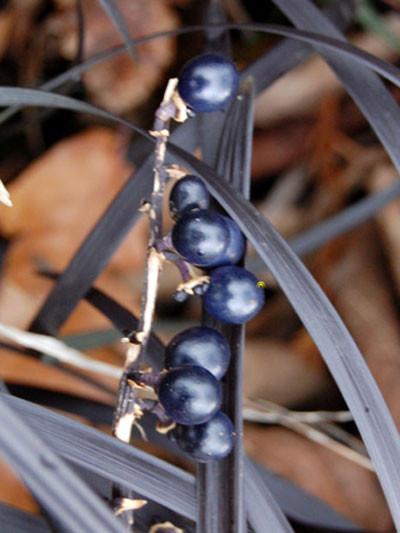 Ophiopogon planiscapus 'Black Beard', Schlangenbart, schwarzer Gartenschlangenbart
