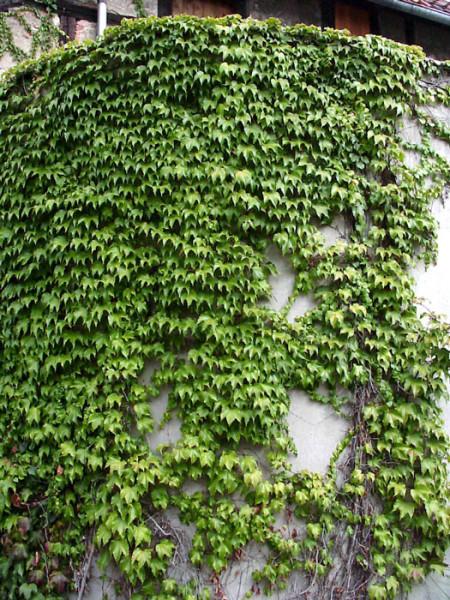 Wilder Wein Veitchii Kletterpflanze