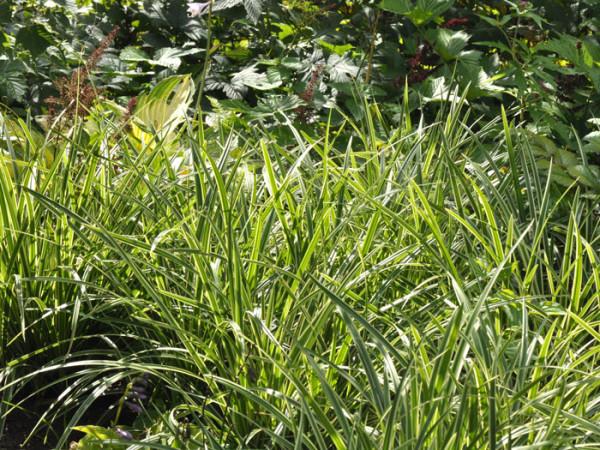 Carex foliosissima 'Ice Dance' (M), Weißrandige Garten-Segge, Teppich-Japan-Segge