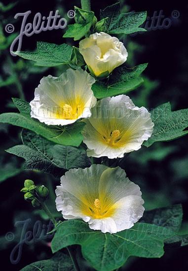 Alcea rosea 'Polarstar' (M), Stockrose, englische Stockrose, Spotlight-Stockrose