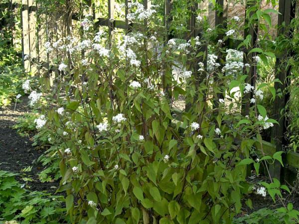 Eupatorium rugosum 'Chocolate', braunblättriger Wasserdost, Riesenschirm