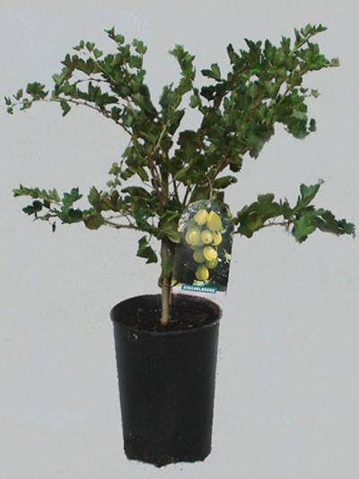 Stachelbeere 'Hinnonmäki', gelb