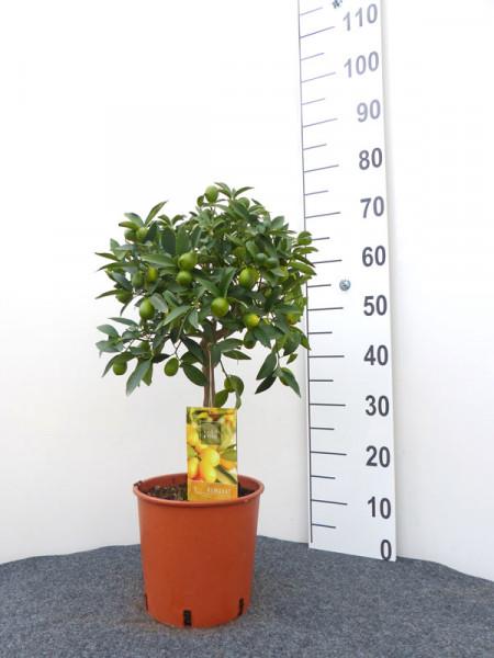 Citrus fortunella japonica Kumquat, Ei-Mandarine, Kumquat