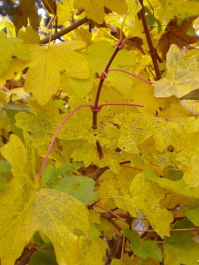 Herbstfärbung Acer campestre