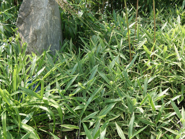 Pleioblastus shibuyanus (variegatus) 'Tsuboi', buntblättriger Zwergbambus