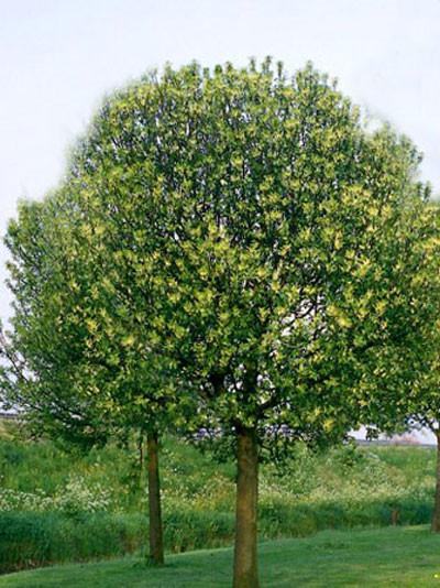 Prunus padus 'Nana', Kugel-Traubenkirsche - XXL-Produkt