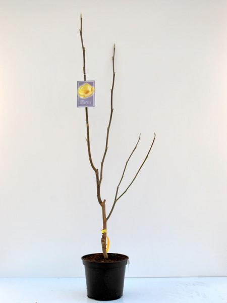 Magnolia 'Honey Tulip', Magnolie