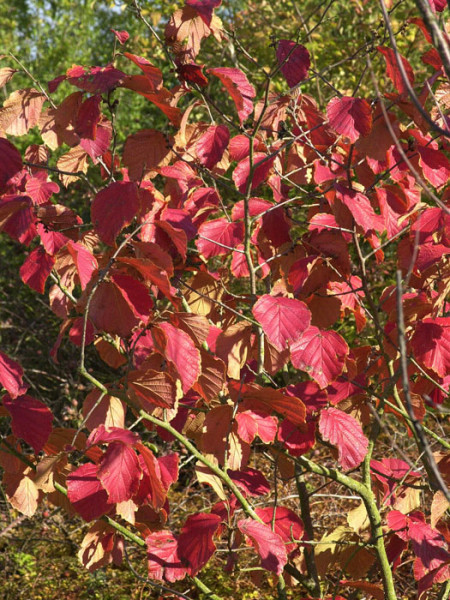 Herbstfärbung der roten Zaubernuss