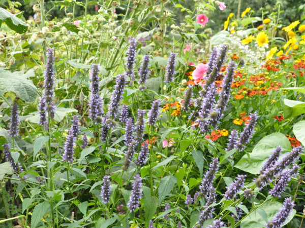 Agastache rugosa 'Black Adder'® (M), asiatische Duftnessel 'Black Adder'