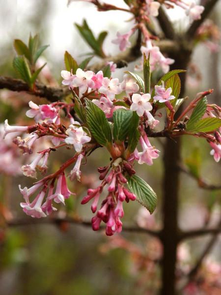 Duftschneeball Blüte