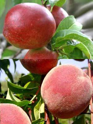 Duo-Baum - Pfirsich und Nektarine
