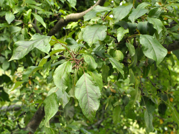 Malus sylvestris, Wildapfel
