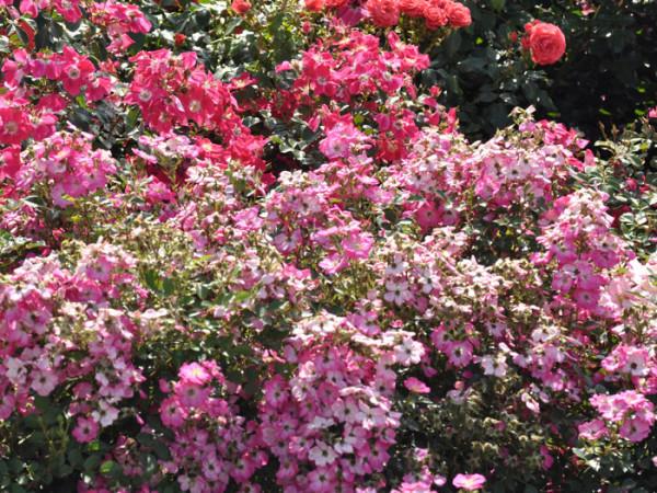 Rose Lupo ® - Kordes
