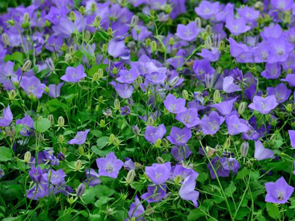 Üppiger Blütenflor der Karpatenglockenblume 'Blaue Clips'
