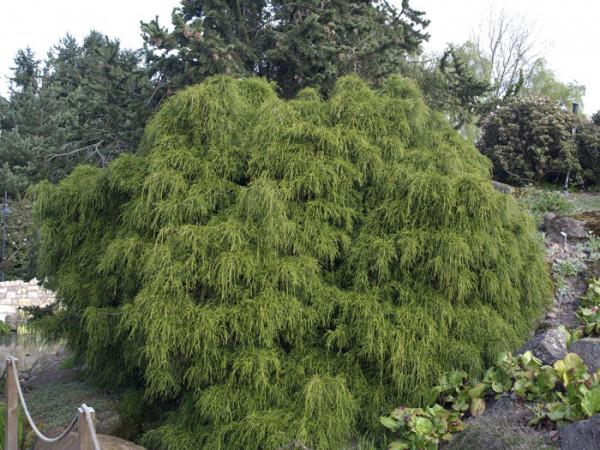 Der hängende Wuchs der grünen Zwerg-Fadenzypresse