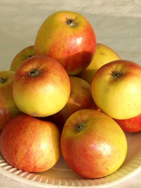 Der Apfel 'Geheimrat Oldenburg'