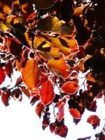 Fagus sylvatica purpurea, Blutbuche