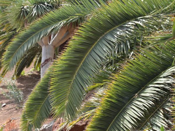 Blätter der Dattelpalme